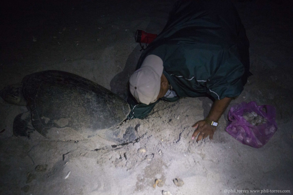 Man collects turtle eggs, photo by Phil Torres