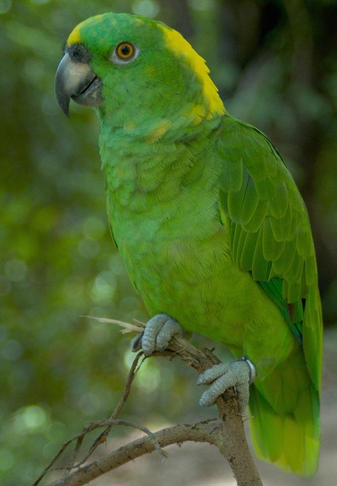 Yellow Naped Amazon Parrots