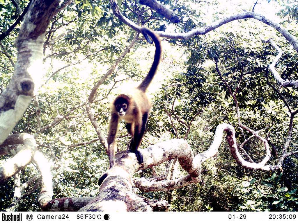 Camera Trap Photo of Black-handed Spider Monkey, taken in Mono Bayo Reserve