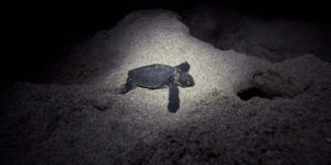Sea turtle photo by Phil Torres