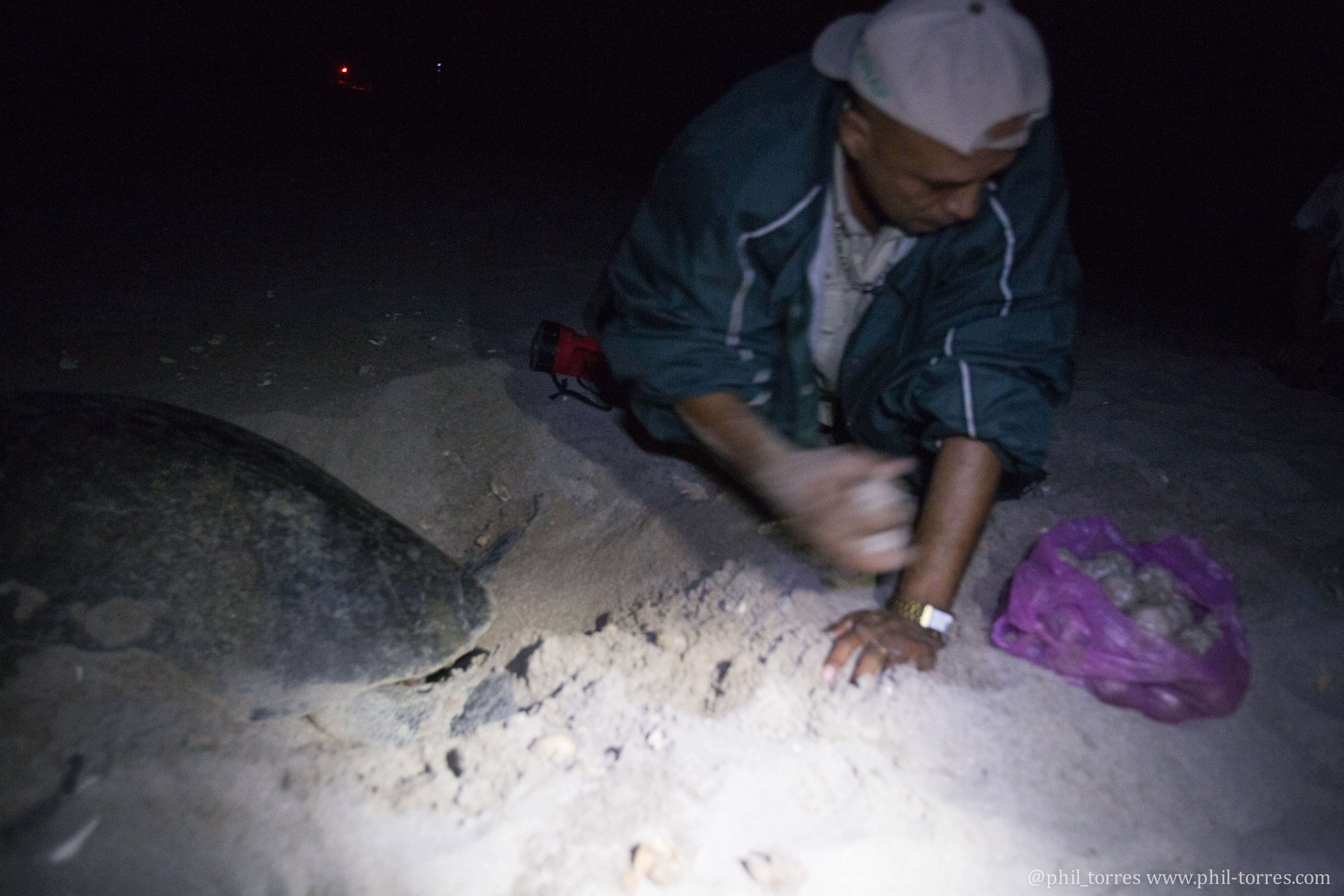 Man taking eggs from nesting turtle, taken by Phil Torres, 2016